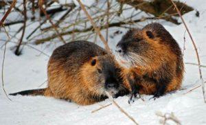 Как содержать нутрий в зимних условиях