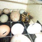 Инкубация яиц мускусной утки
