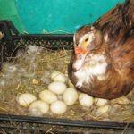 Подготовка гнезд мускусной утки