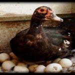 Сколько дней высиживает мускусная утка яйца