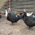 Почему не несут яйца мускусные утки