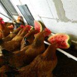 Изготовления самодельных кормушек для кур