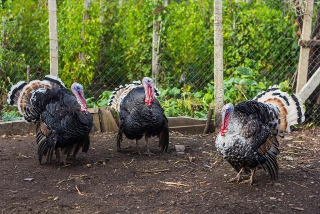 Какую породу индейки лучше выбрать для фермерства