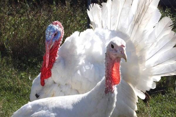 Выбираем птицу для фермы – бройлерная индейка