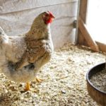 Когда и как курица начинает нести яйца