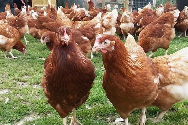 Ломан браун фото курицы