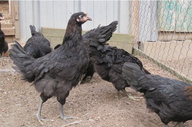 Порода кур московская черная