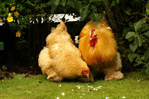 Куры которые несут большие яйца