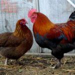 Маран яично-мясная порода кур