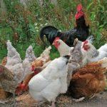 Разнообразие куриного мира с фотографиями и описанием
