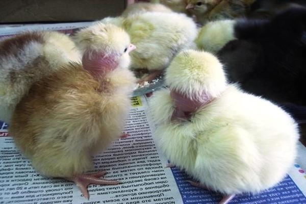 Разведение и выращивание цыплят голошейных