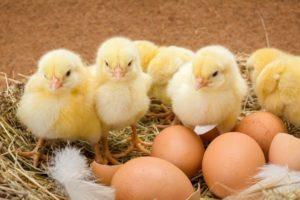 Сколько нужно времени что бы курица высидела яйца