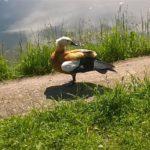 Утка огарь или красная утка