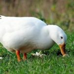Домашняя птица – утка агидель