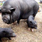 Кормление вьетнамских свиней и рацион питания