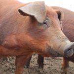 Виды мясных свиней с характеристикой и описанием