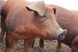 Свиньи дюрок описание и фото
