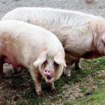 Случка у свиней признаки охоты фото и видио