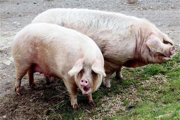 Пара свиней для спаривания