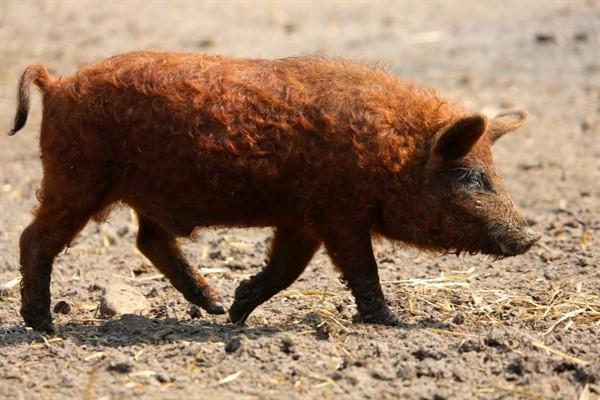 Мангал порода свиньи