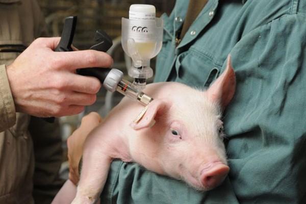 Рожа у свиней фото профилактика
