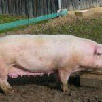 Свиноферма – выращиваем породу Ландрас