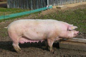 Порода свиней ландрас фото и описание