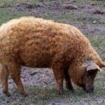 Характеристика и описание свиньи мангал