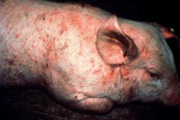 Рожа свиней фото. Симптомы и лечение