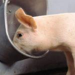 Виды поилок для свиней своими руками