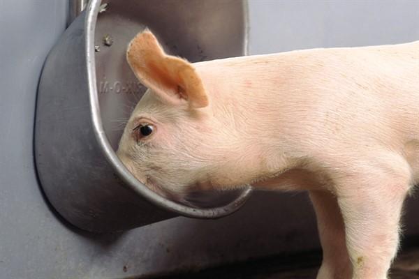 Виды поилок для свиней фото