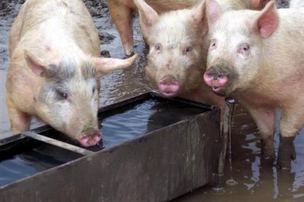 Стандартное корыто для питья свиней фото