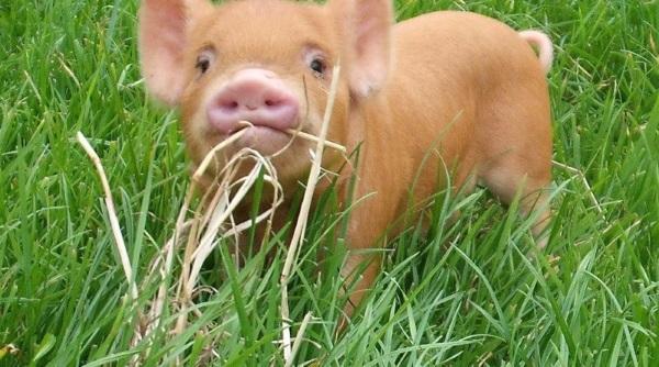 Небольшая свинья