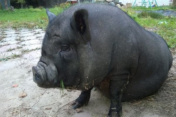 Болезни вьетнамских свиней