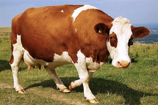 Cколько живет корова