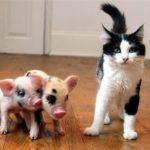 Декоративные домашние свинки