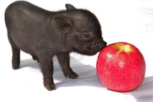 Преимуществом маленьких свинок