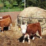 Карликовые коровы фото и описание