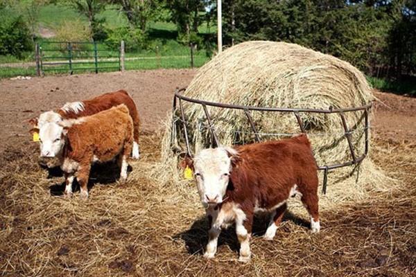 Ферма для мини коров фото и описание