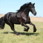 Лошади фризской породы с фото и описанием