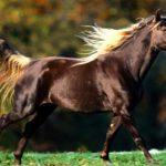 Порода лошадей скалистых гор