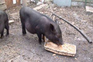 Кормление вислобрюхих свиней