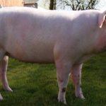 Характеристика и описание крупной белой свиньи