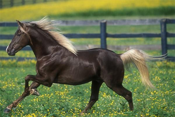 Лошадь скалистых гор фото