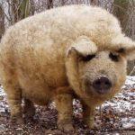Порода свиней мангалица описание