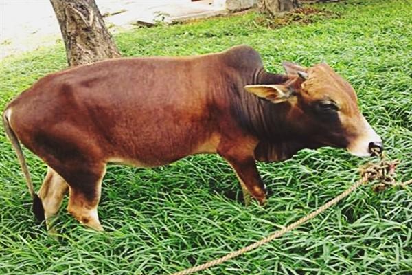 Мини корова вечур фото и описание