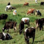 Лучшие породы молочных коров фото с описанием
