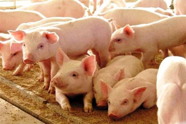 Мясные характеристики свиньи породы крупная белая