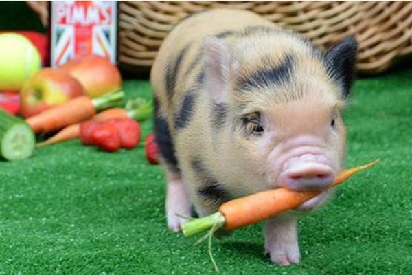Кормление декоративных свинок фото