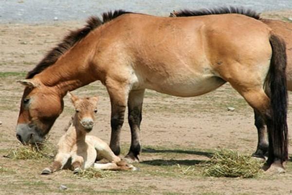 Пржевальской лошади размножение фото